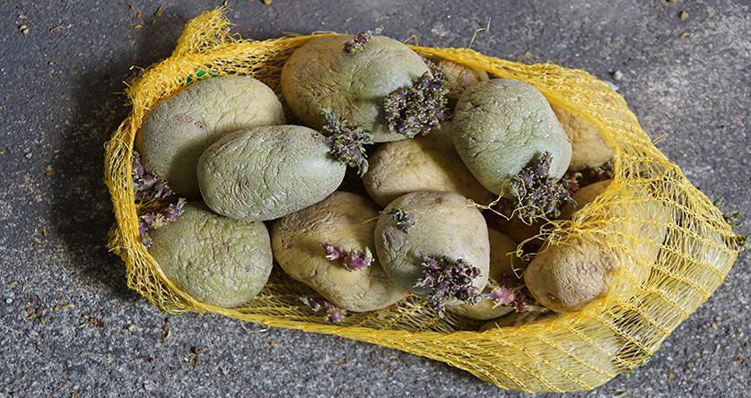 Kartoffeln: Sind grüne Stellen giftig?